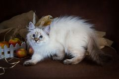 Purebred beautiful Neva masquerade cat, kitten on a brown background. Harvest of autumn vegetables and fruits in baskets. As decoration Stock Photography