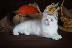 Purebred beautiful Neva masquerade cat, kitten on a brown background. Harvest of autumn vegetables and fruits in baskets. As decoration Stock Image