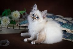 Purebred beautiful Neva masquerade cat, kitten on a brown background. Pillows and flowers as decoration. Purebred beautiful Neva masquerade cat, kitten on a Stock Image