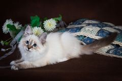 Purebred beautiful Neva masquerade cat, kitten on a brown background. Pillows and flowers as decoration. Purebred beautiful Neva masquerade cat, kitten on a Royalty Free Stock Image