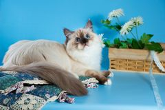 Purebred beautiful Neva masquerade cat, kitten on a brown background. Pillows and flowers as decoration. Purebred beautiful Neva masquerade cat, kitten on a Stock Photos