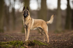 Purebred Belgian Malinois Dog. Pedigree Belgian Malinois Shepherd dog outdoors in the forest on a sunny spring day Royalty Free Stock Image