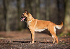 Purebred Belgian Malinois Dog. Pedigree Belgian Malinois Shepherd dog outdoors in the forest on a sunny spring day Stock Images