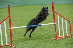 Belgian Shepherd jumping over obstacle on agility competition. S. Purebred Belgian Shepherd dog jumping over obstacle on agility competition stock photo
