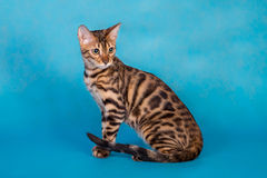 Purebred Bengal cat. On a blue background Stock Images