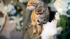 Purebred Bengal Cat Catches Butterfly stock video