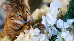 Purebred Bengal Cat Catches Butterfly stock footage