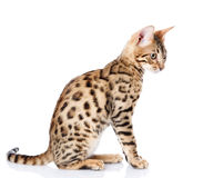 Purebred bengal cat. Royalty Free Stock Image