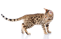 Purebred bengal cat. Royalty Free Stock Photos