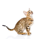 Purebred Bengal cat looking up. isolated on white background Stock Photo