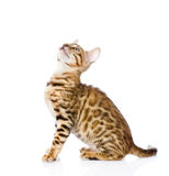 Purebred Bengal cat looking up. isolated on white background Royalty Free Stock Image
