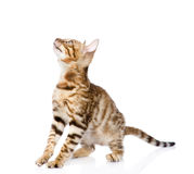 Purebred Bengal cat looking up.  on white background Royalty Free Stock Images