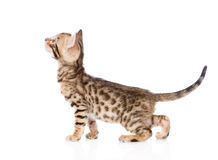 Purebred Bengal cat in profile looking up. isolated. On white stock photography