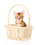 Purebred bengal kitten in the basket. isolated on white Stock Photo