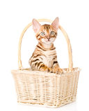 Purebred bengal kitten in the basket. isolated on white Royalty Free Stock Photos