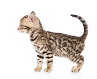 Purebred bengal kitten looking away. isolated on white backgroun Royalty Free Stock Images