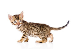 Purebred bengal kitten looking away. isolated on white backgroun Stock Photo