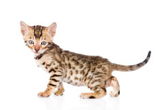 Purebred bengal kitten looking at camera. isolated Royalty Free Stock Image