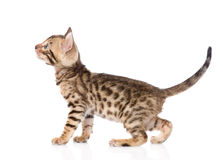 Purebred bengal kitten looking up. isolated on white background.  Stock Image