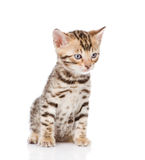 Purebred bengal kitten sitting in front. isolated on white backg Stock Image