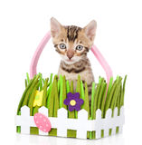 Purebred bengal kitten in the toy basket. isolated Stock Image
