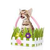 Purebred bengal kitten in the toy basket looking up. isolated Royalty Free Stock Photos