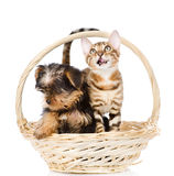 Purebred Bengal kitten and Yorkshire Terrier puppy sitting in basket Royalty Free Stock Photos