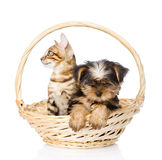 Purebred bengal kitten and Yorkshire Terrier puppy sitting in basket Royalty Free Stock Images