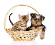 Purebred bengal kitten and Yorkshire Terrier puppy sitting in basket Royalty Free Stock Photo