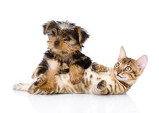 Purebred bengal kitten and Yorkshire Terrier  puppy together Stock Photos