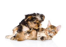 Purebred bengal kitten and Yorkshire Terrier puppy together Royalty Free Stock Image