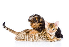 Purebred bengal kitten and Yorkshire Terrier puppy together.  Royalty Free Stock Images