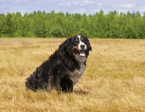 Purebred Bernese Mountain Dog outdoors Stock Photography
