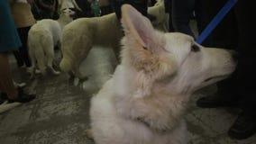Purebred Biała baca na smyczu, przygotowywającym dla psiego zwinności przedstawienia, z rodziny psów wystawa zbiory