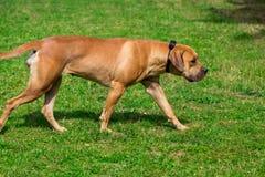 Purebred big brown South-African massive dog species Boerboel.  Stock Images