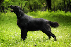 Purebred black dog flat-coated Retriever standing in the show po Stock Photos