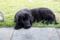 Purebred black newfoundland puppy laying on the grass. A purebred black newfoundland puppy is laying on the grass Stock Images