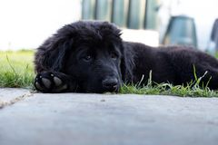 Purebred black newfoundland puppy laying on the grass. A purebred black newfoundland puppy is laying on the grass Royalty Free Stock Images