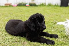 Purebred black newfoundland puppy laying on the grass. A purebred black newfoundland puppy is laying on the grass Stock Photo