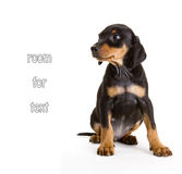 Purebred black-and-tan German Pinscher Royalty Free Stock Photos