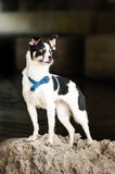 Purebred black and white dog Royalty Free Stock Photo