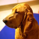 Purebred bloodhound 8 old months puppy with lovely eyes. Great dog Royalty Free Stock Images