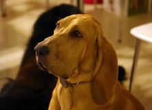 Purebred bloodhound 8 old months puppy with lovely eyes. Great dog Royalty Free Stock Photography