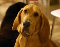 Purebred bloodhound 8 old months puppy with lovely eyes. Great dog Royalty Free Stock Photo