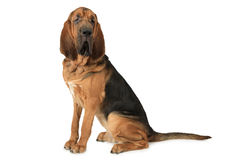 Purebred Bloodhound pies Obrazy Royalty Free