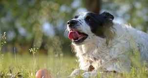 Purebred border collie panting after playing stock video