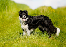 Purebred border collie Royalty Free Stock Photography