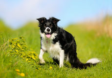 Purebred border collie Stock Images