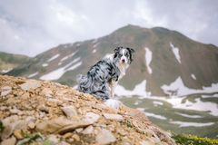 Purebred border collie sits on a beautiful mountains background royalty free stock photography