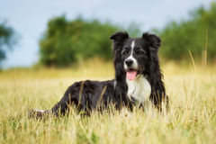 Purebred border collie on a summer day stock photography